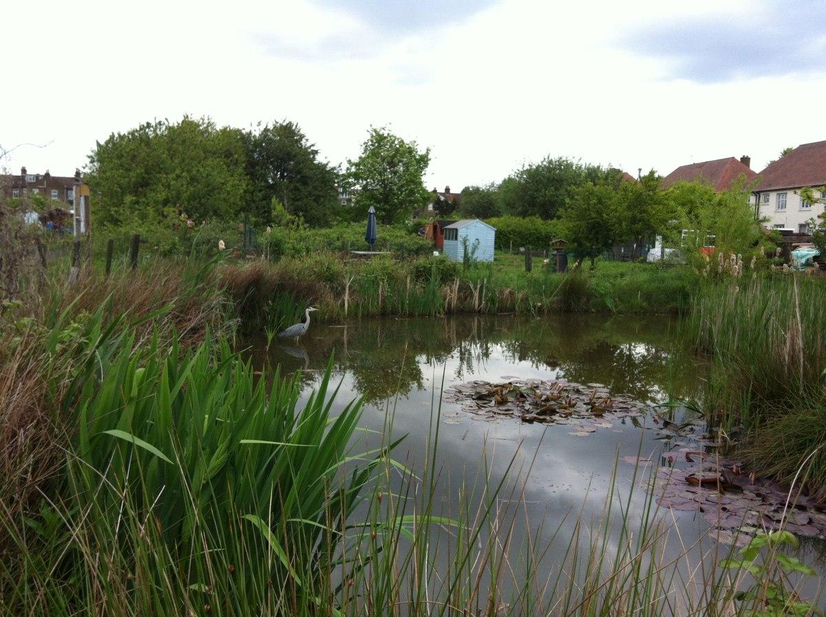 Wildlife pond at Framfield Allotments