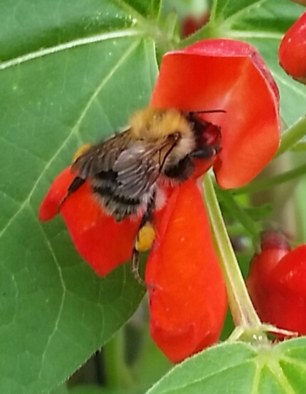 bee in red flower
