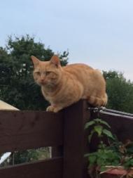 Bob the allotment cat